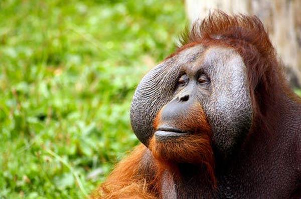 VIAJE A BORNEO: Orangutanes en la selva