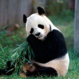 VIAJE A CHINA: Oso panda